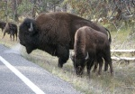 Bison Jam - mom and baby!