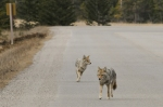 A rare couple of coyotes on Maligne Lake Road