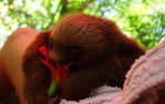 The baby sloth eats hibiscus flower
