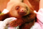 Baby sloth (no name yet)