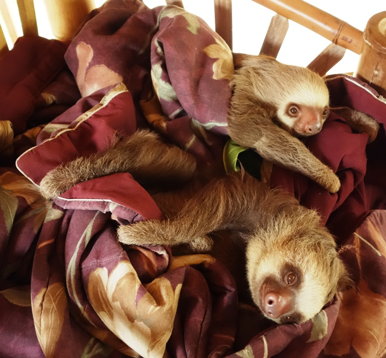 Baby 2-toed sloths in the loft