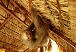 2 Toed Sloth in the Loft