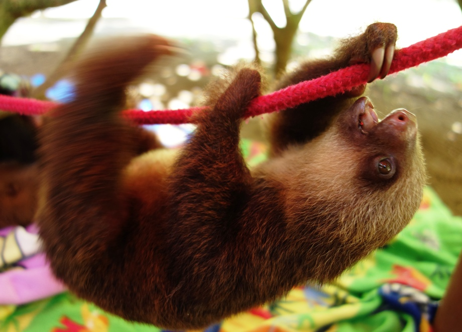 Charlier the sloth