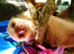 Jeremy the baby sloth