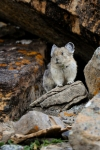 Super cute little Pika