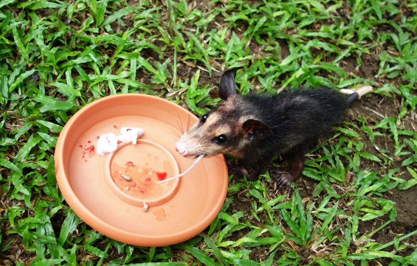 "My little buddy, the possum ""So ondor"" or something... Means ""So ugly, he is cute""?"