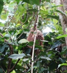 A sloth on our Puerto Viejo hotel property!!