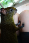The Agouti (no official name, but I aptly called him Speedy Gonzalez), often jumped onto my lap