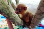 Stanley, the blind baby Kinkajou. So adorable!