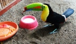 Tequila the beautiful Keel Billed toucan. He flew into a tree and broke his beak. He also damaged a wing. He will be at the Center for his life.